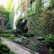 Care-free vines: Boston ivy