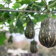 6 gourd-growing tips