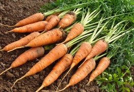 6 helpful pointers for growing sweet and crunchy carrots