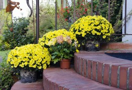 6 hints for growing chrysanthemums