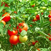 6 nuggets of advice for growing tasty tomatoes