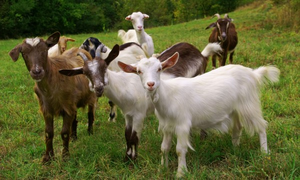 The trick to feeding goats