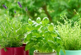 Easy hints for growing and harvesting herbs