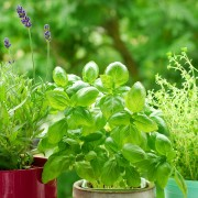 Growing and preserving culinary herbs at home