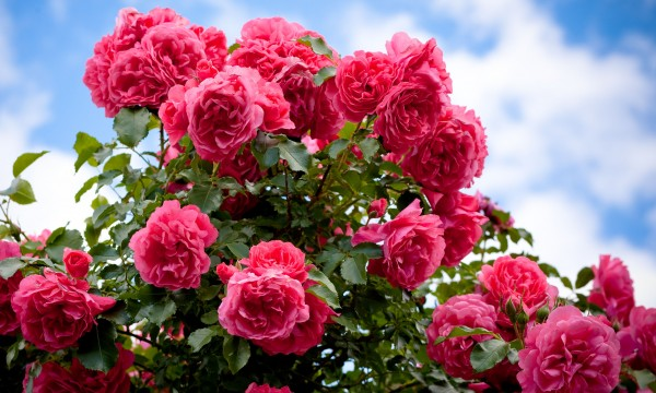 8 clever tips for planting roses in your garden