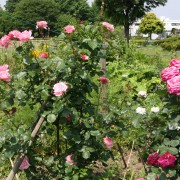 8 things to know when planting a new rose garden
