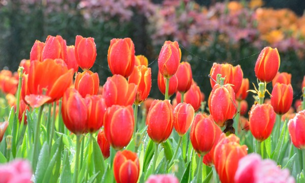 8 tips for planting and growing luscious tulips