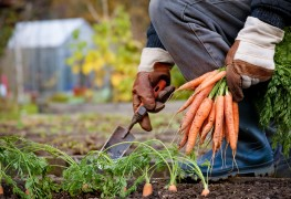 Helpful tips for growing 'C' vegetables