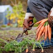 Vegetables for vitality: carrots