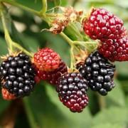 Green gardening: Growing raspberries