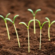 Raise seeds or seedlings to be healthy and strong