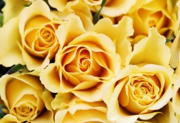 8 types of roses to grow in your garden