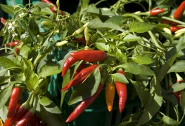 9 hot tips for growing peppers