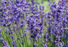 9 ways to grow and use lavender