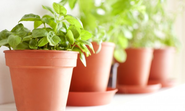 Advice for growing your own medicinal herbs