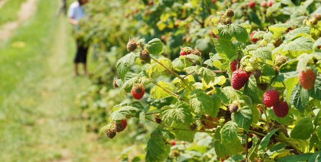 Places to go berry picking in Toronto and the GTA