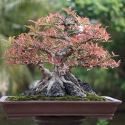 10 things to know about growing a bonsai