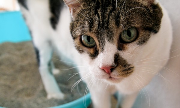 DIY solutions for kitty litter box odours