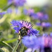 3 tips on how to grow Centaurea