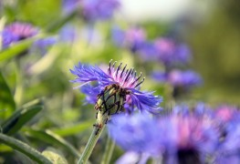 3 tips on how to grow Centaurea