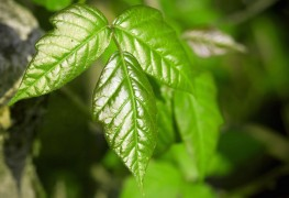 Care-free vines: hops