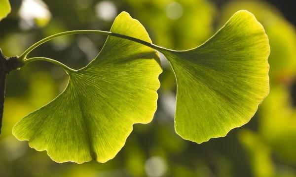 Grow and enjoy a gingko biloba tree in Canada