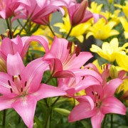 8 tricks to growing beautiful, lush lilies