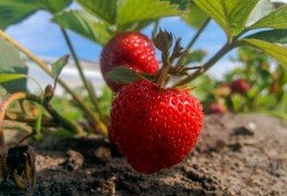 9 tips for growing sweet and bountiful strawberries