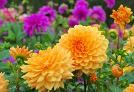 The easy way to plant and care for dahlias: 10 tips