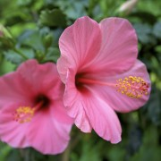 Everything you need to know about growing hibiscus