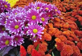Care-free annuals: Giving verbena a shot