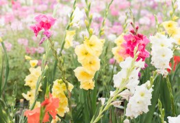 4 tips for growing gorgeous gladiolus