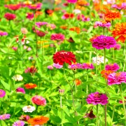 Planting prolific, colourful zinnias