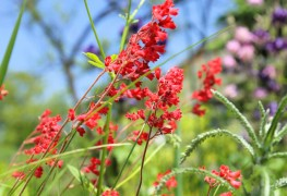 Care-free perennials: columbine