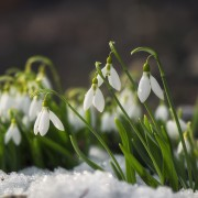 4 tips for growing beautiful and healthy snowdrops