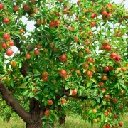 The best time to plant a fruit tree: spring or fall?