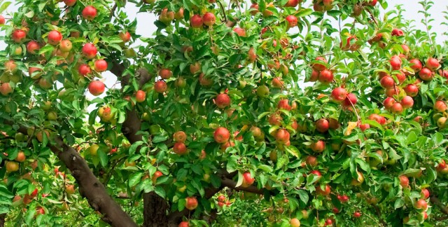 9 pointers for growing bountiful fruit in the garden smart tips - Planting fruit trees in autumn ...