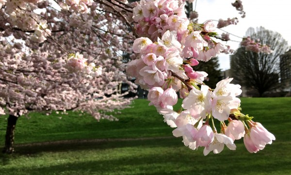 Where to experience cherry blossoms in Vancouver this spring