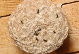 Tips for safely getting rid of a wasp nest in your wall
