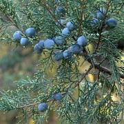 Why you should plant boxwood and juniper