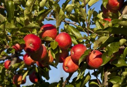 Your guide to caring for a homegrown apple tree in your yard