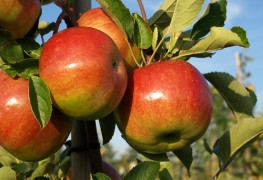 How to prune your tree for the best apples