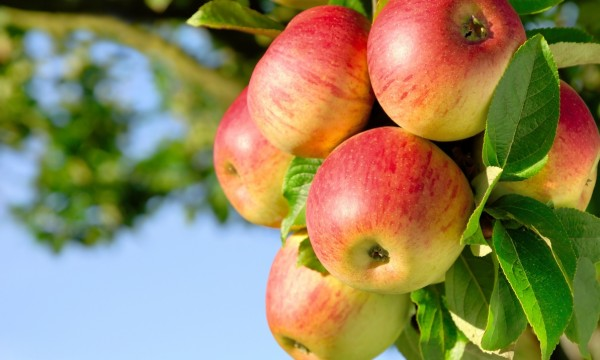 5 quick tips on how to grow your own apples