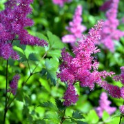Easy-to-follow advice for successfully cultivating astilbe