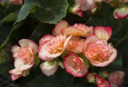 The key to cultivating versatile, care-free begonias