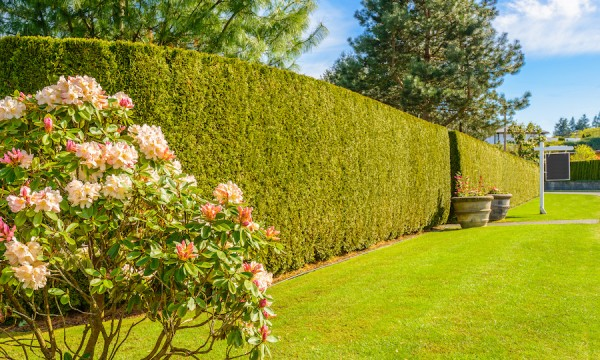 What pro gardeners know: top tips to help you plant a hedge