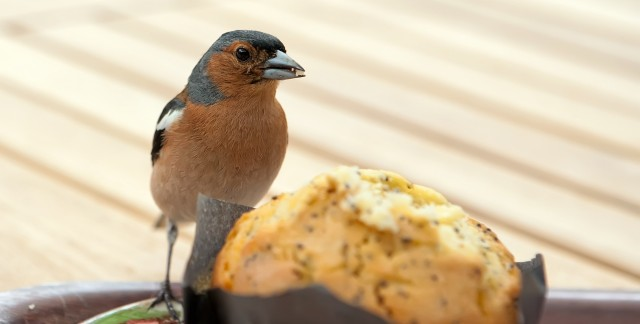 Homemade bird muffins, finch and canary treats