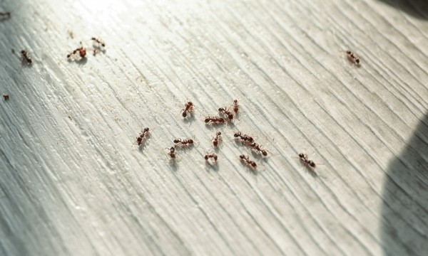 5 tips to get rid of ants in the house