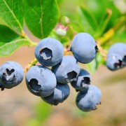 Care for your berry bushes the right way