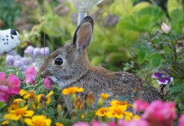 Keep groundhogs and bunnies away from your garden